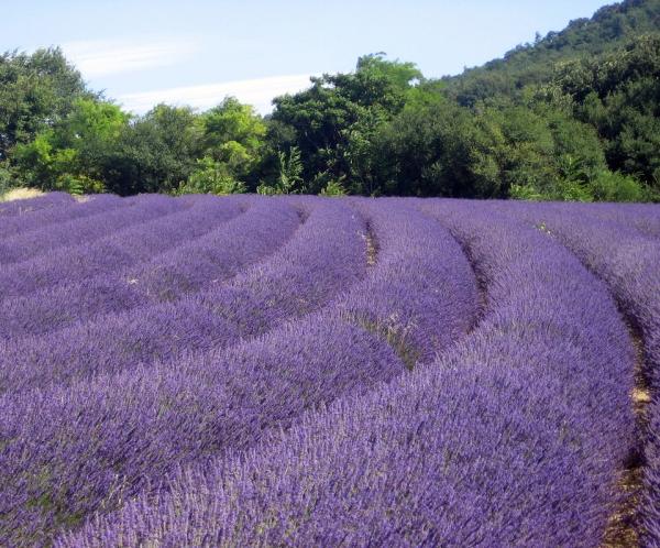 Lavender- Provence Tour