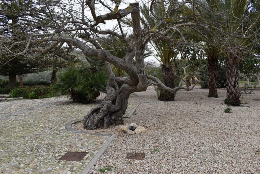 Mandranova Tree